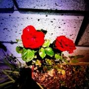 「家のバラ」【応募者全員にプレゼント有り】身近にあるバラを探してみよう!の投稿画像
