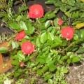 「我が家のミニバラ」【応募者全員にプレゼント有り】身近にあるバラを探してみよう!の投稿画像