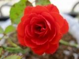「バラの写真でラ・ミューテの洗顔フォームをゲッツッ☆」の画像(1枚目)