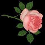「【応募】薔薇の洗顔フォーム」の画像(6枚目)