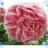 「【応募】薔薇の洗顔フォーム」の画像(2枚目)