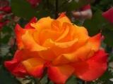 「薔薇の香りに癒されて、綺麗になれる ラ・ミューテ♪」の画像(1枚目)