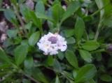 クラピアの可憐な白い花が咲いたよ!