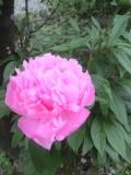 花壇に咲き誇る芍薬♪