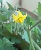 トマトのお花♪