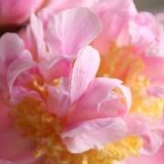 「ふんわり波立つフェザータッチな花びらたち」【5月限定】花や緑の画像大募集~ドイツ底面かん水プランターレチューザプレゼント~の投稿画像