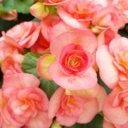「★ベコニア農家★」【5月限定】花や緑の画像大募集~ドイツ底面かん水プランターレチューザプレゼント~の投稿画像