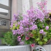 「サクラソウを初めて」【5月限定】花や緑の画像大募集~ドイツ底面かん水プランターレチューザプレゼント~の投稿画像
