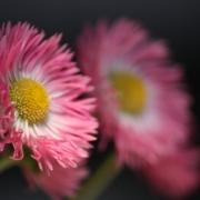 「庭のデージー」【5月限定】花や緑の画像大募集~ドイツ底面かん水プランターレチューザプレゼント~の投稿画像