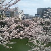 「今年の桜」【5月限定】花や緑の画像大募集~ドイツ底面かん水プランターレチューザプレゼント~の投稿画像
