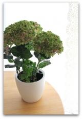 「不思議な紫陽花 & 根腐れしない!ドイツ製プランター『レチューザ』」の画像(2枚目)