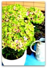 「不思議な紫陽花 & 根腐れしない!ドイツ製プランター『レチューザ』」の画像(6枚目)