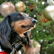 「サンタさん来るかな。」【クリスマス&お正月】ワンちゃんネコちゃん★フォトコンテスト【プレゼントあり!】の投稿画像
