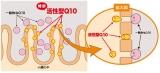 口コミ:活性型コエンザイムQ10の画像(10枚目)