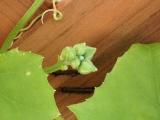 ヘチマで壁面緑化運動 ③の画像(3枚目)