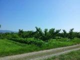 桃畑の画像(1枚目)