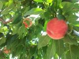桃畑の画像(3枚目)