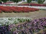 花の都公園・満開ではないけれどコスモスの画像(3枚目)