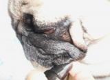 ペット用品KINUKA「ボンボンコピーヌ・ボンボン無添加コスメ デンタルケアミスト30ml」☆
