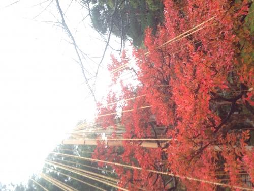 冬支度する紅葉。