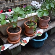 「いちごの苗を植えました☆」あなたが見つけた「秋の風景」写真コンテスト!の投稿画像