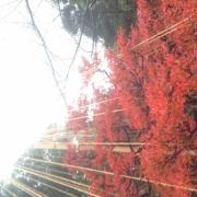 「冬支度する紅葉。」あなたが見つけた「秋の風景」写真コンテスト!の投稿画像
