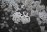 お花見♪の画像(3枚目)