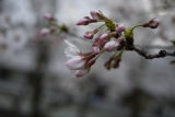 お花見♪の画像(2枚目)