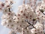 白とピンクのコントラスト!の画像(1枚目)