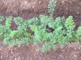 「すくすく、庭の畑。」の画像(2枚目)