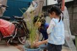 いよいよ収穫☆バケツ稲の画像(6枚目)