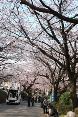 「今が見頃の安行桜:毎日がばら色」の画像(3枚目)