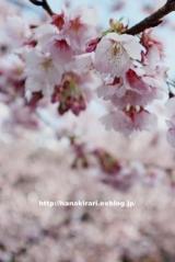 「今が見頃の安行桜:毎日がばら色」の画像(1枚目)