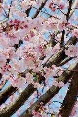 「今が見頃の安行桜:毎日がばら色」の画像(5枚目)