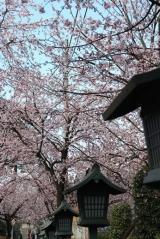 「今が見頃の安行桜:毎日がばら色」の画像(4枚目)