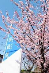 「今が見頃の安行桜:毎日がばら色」の画像(2枚目)