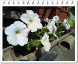 園芸用の土って | 田舎暮らしジジのコスメ日記 - 楽天ブログの画像(4枚目)