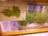 サブウェイ野菜ラボ グランフロント大阪限定「ミニセロリ+ローストチキン」の画像(3枚目)