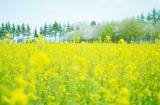 (カメラ必須!!)息子と菜の花畑へ行ってきました。&私のピンボケ対策の画像(5枚目)