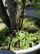 「安心・安全に枯らしたい雑草群には『お酢で作った除草剤』」の巻の画像(1枚目)