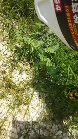 子供にも安心な食品成分の除草剤♪の画像(6枚目)