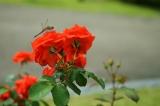 アイデス「カンガルー」で秋のレジャー*東沢バラ公園に行ってきましたの画像(14枚目)