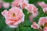 アイデス「カンガルー」で秋のレジャー*東沢バラ公園に行ってきましたの画像(17枚目)