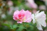 アイデス「カンガルー」で秋のレジャー*東沢バラ公園に行ってきましたの画像(2枚目)