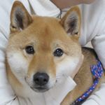 2月2日は、愛犬柴犬だいが家族になった記念日です(^-^)2013年、もう5年前の話だよ〜!時の経つのは早いわ(´ー`)その当日はしゃぎ過ぎて捕獲された時の写真。未だこれ以上お気に入りの写真は撮れ…のInstagram画像