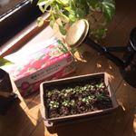 ・DCMブランド栽培セットを使って、簡単に野菜栽培を始めました♡・プランター、種、土などがセットになっているので、すぐ種まきができるのが魅力的✨・種まき後、7日目のラディッシュです…のInstagram画像