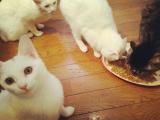 口コミ記事「猫ちゃん為の健康サプリメント【贅沢ねこまんま】を」の画像