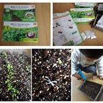 DCMホールディングスの栽培セットやってます~(*^^*)プランター、土、種、肥料もセットなので、水だけ用意すればいいのが嬉しい!ブロッコリースプラウトと、ガーデンレタス。3日目で芽が出てきて…のInstagram画像
