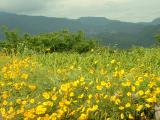 はちみつのような黄色い花畑!