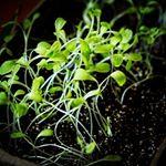 *キッチンなどに置いても見栄え良い可愛い~栽培セット🌱#ガーデンレタス そろそろ収穫のはずが育ちが悪く・・・ .#ブロッコリースプラウト 芽すら出ず・・・ .まだ種が残っている…のInstagram画像